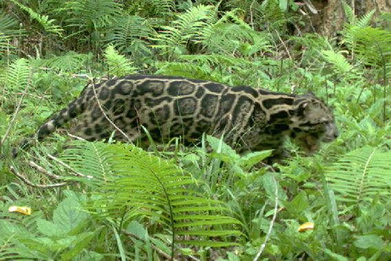 Close-up of Sunda clouded leopard. Photo by: Sabah Wildlife Department.