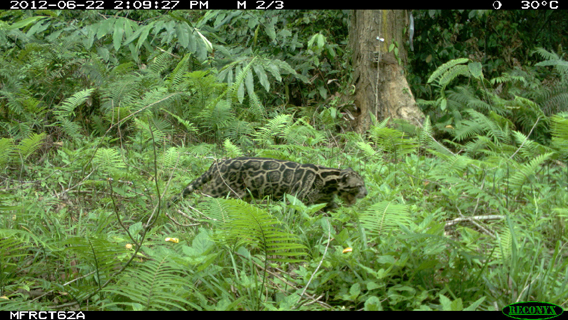 A Sunda clouded leopard caught on camera trap. The Sunda clouded leopard was only recently declared a distinct species from its mainland Asian relative. See close-up below. Photo by: Sabah Wildlife Department.