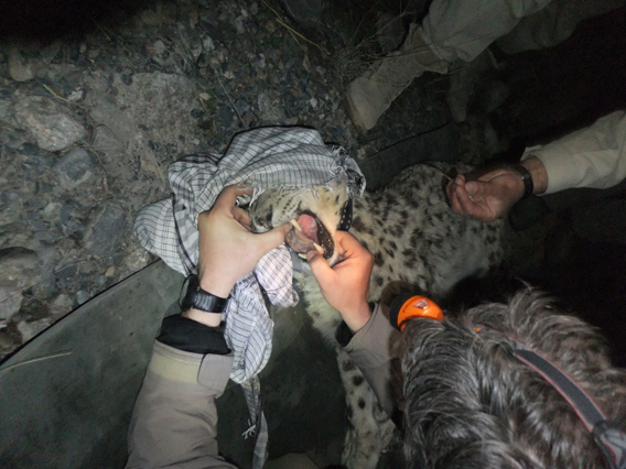 The research team conducts a dental exam of a snow leopard prior to its release. Photo by: Anthony Simms/WCS.