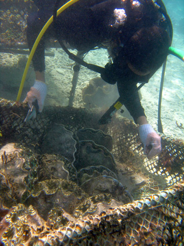 Suzanne Licuanan diving to check on a cage full of cultured giant clams. Photo by: Ardea Licuanan.