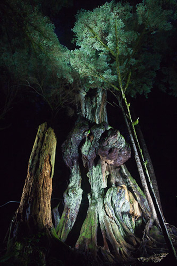 This is a night photo of 'Canada's Gnarliest Tree' in the Avatar Grove. Watts says: 'Some friends and I thought it would be neat to go for a hike and photograph in the dark with lights. It was quite the surreal experience!'