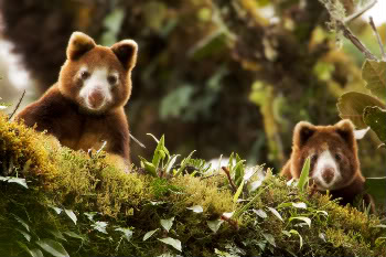 Papua new guinea creates first nature reserve two matschies tree kangaroos dendrolagus matschiei which is listed as an endangered species by the iucn peer from a perch high in the trees of the sciox Images
