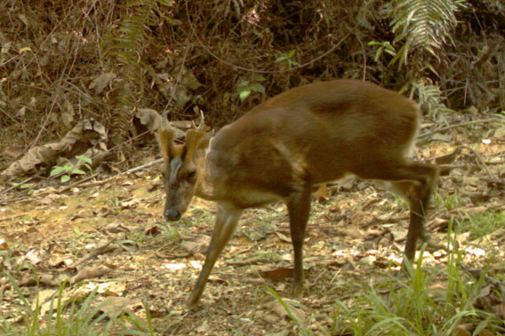 A muntjac in Wehea Forest. Photo by: Brent Loken/Ethical Expeditions.