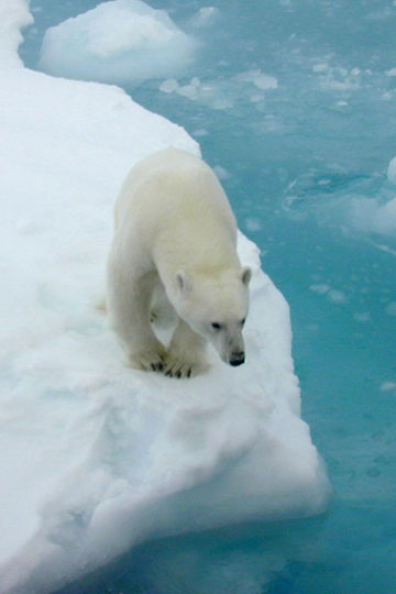 Polar bear in the Chukchi Plateau