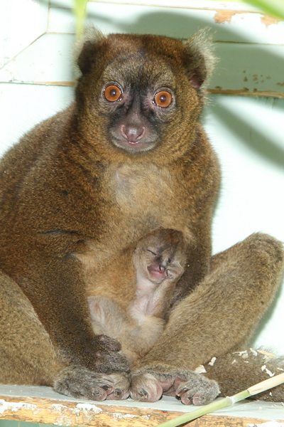 A newborn greater bamboo lemur baby at the Port Lympne Wild Animal Park. Photo by: Dave Rolfe.