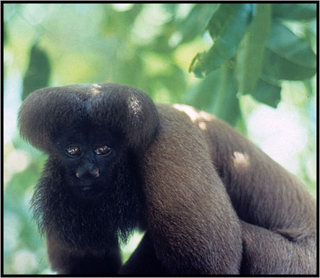 Uta Hick's bearded saki (<i> Chiropotes utahicki</i>).Photo courtesy of International Rivers.  &#8221; ><br /> <i> Uta Hick&#8217;s bearded saki (<i> Chiropotes utahicki</i>).Photo courtesy of International Rivers.  </i></p> <p class=