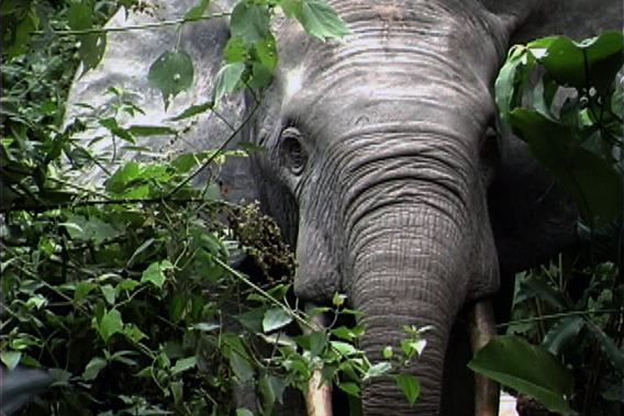 Curious young male forest elephant re-establishing a presence in a successful conservation area, Nouabale-Ndoki, northern Congo. Photo by: Stephen Blake.