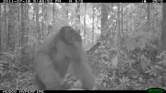 A male Bornean orangutan on the ground in Wehea Forest. Photo by: Brent Loken/Ethical Expeditions.