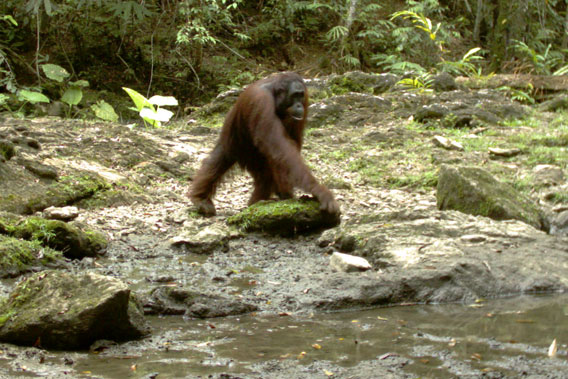 Bornean orangutan in Kalimantan, Indonesia. Photo by: Brent Loken/Ethical Expeditions.