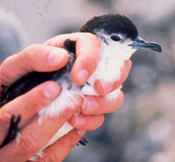 Bryan's shearwater. Photo by: Reginald David.