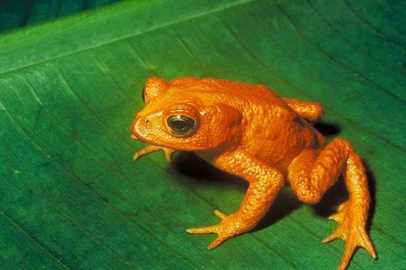 The golden toad (Bufo periglenes) is one of well-over a hundred frogs that are believed to have gone extinct over the past few decades.  Photo by: US Fish and Wildlife Service.