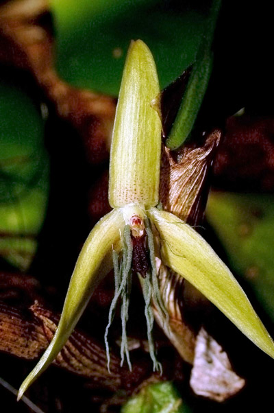 This is the world's only known night-blooming orchid. Discovered in Papua New Guinea, this orchid open from 10 PM to early morning. It is named Bulbophyllum nocturnum, which means