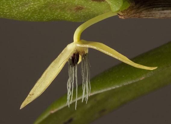 New orchid species: Bulbophyllum nocturnum. Photo by: Andre Schuiteman.