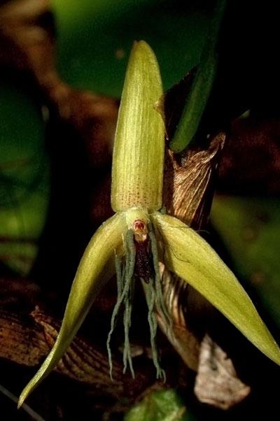 New orchid species: Bulbophyllum nocturnum. Photo by: Jaap Vermeulen.