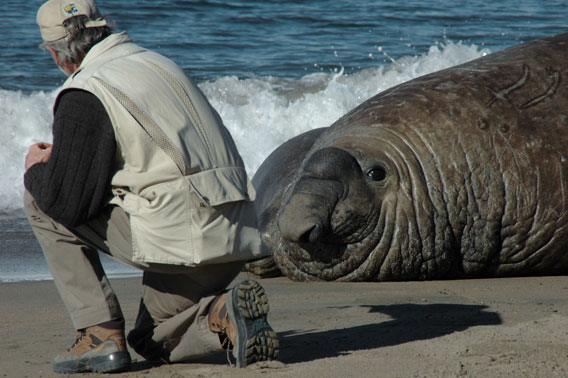 Campagna with male elephant seal. Photo by: G. Harris.