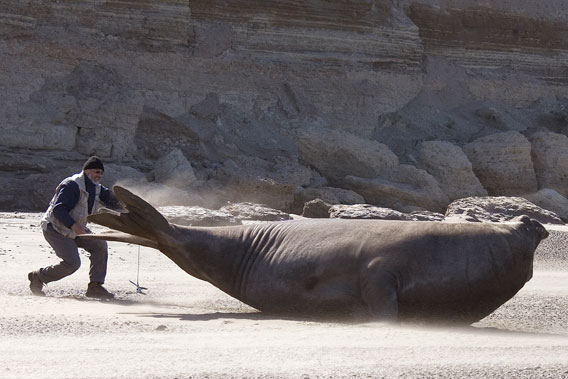 Claudio Campagna tagging a massive elephant seal. Photo by: Jim Large.