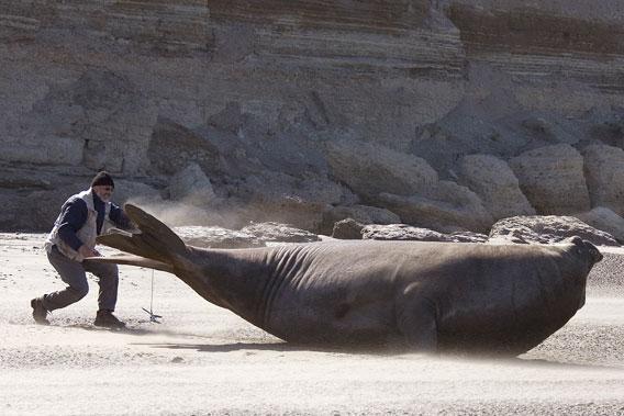 Claudio Campagna etiquetando un elefante marino enorme. Foto por: Jim Large