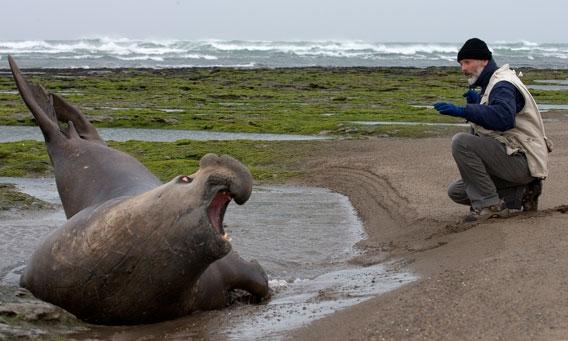 Claudio Campagna etiquetando a un elefante marino. Foto por: Jim Large.