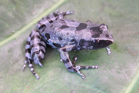 The Bururi long-fingered frog was rediscovered after missing for 62 years. Photo by: David Blackburn.