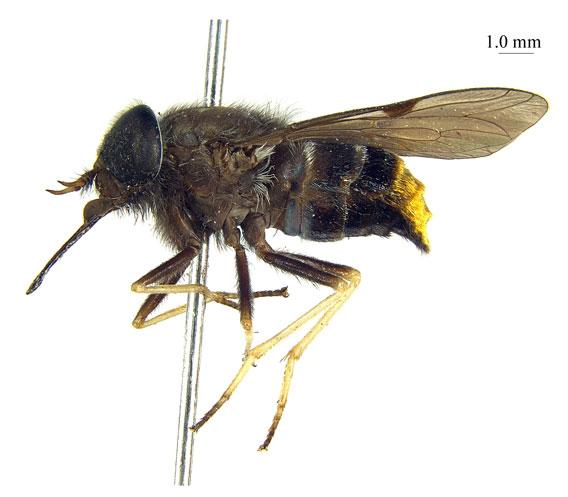 Scaptia beyonceae.