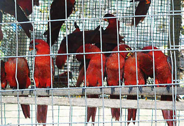 Thousands of cardinal lories (above) and other native Solomon Islands birds were exported through falsely claiming them as captive-bred. Photo courtesy of TRAFFIC.