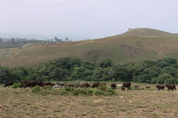 Cattle grazing by riverine forest fragment. Photo courtesy of: Hazel Chapman.