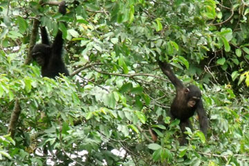 Nigeria-Cameroon chimps in the Ngel Nyaki Forest. Photo courtesy of: Paul Dutton.