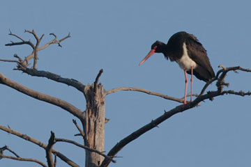 The black stork is one of Latvia's key protected species in forest habitats. Photo by M. Strazds, 2010.