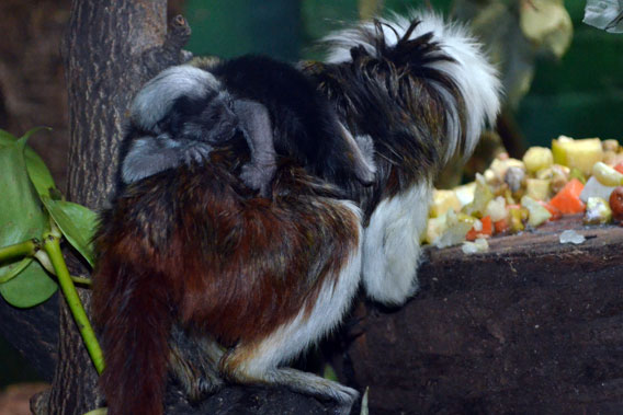 When full grown these cottontop tamarins will be about the size of a squirrel. Photo courtesy of ZSL.