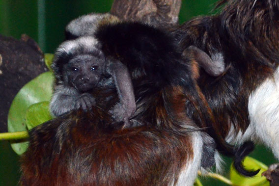 Newborn twin cottontop tamarins clinging to their parent's back. Photo courtesy of ZSL.