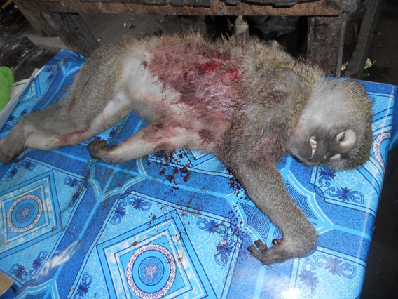 Monkey killed for bushmeat. Photo courtesy of ESI.
