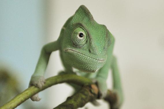 Baby Chameleon Pet Baby yemen chameleon.