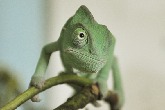 Baby Yemen chameleon. Photo courtesy of ZSL Whipsnade Zoo.