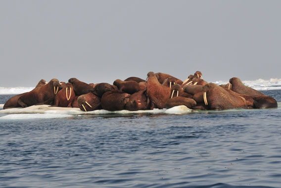 Walruses resting on an ice floe in the Chukchi sea.  Researchers are attempting to radio-tag walrus in order to study their changing movements due to melting sea ice. Photo by: USGS.