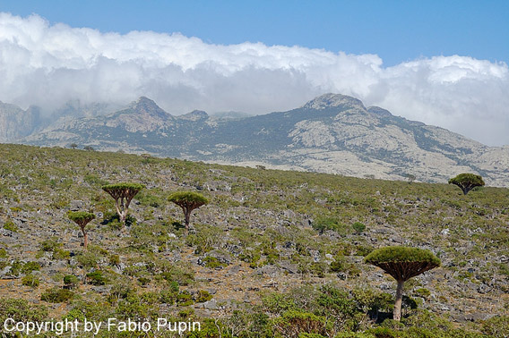The mushroom-shaped dragon blood trees are the islands' most famous plants. Photo by: Fabio Pupin.