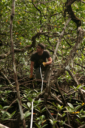 David Curnick conducting a transect through the dense mangroves. Photo © Craig Turner/ZSL.