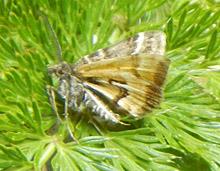 The Avatar moth. Photo courtesy of Forest & Bird.