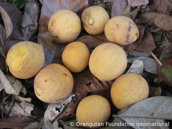 Duku hutan fruit.. Photo courtesy of Orangutan Foundation International.