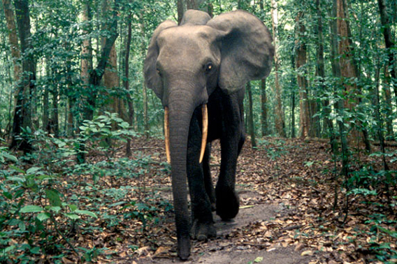 Forest elephant. Photo by: Carlton Ward Junior.