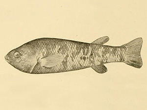Depiction of an Ash Meadows killifish (Empetrichthys merriami) which went extinct in the 1950s. Image by:  David Starr Jordan.