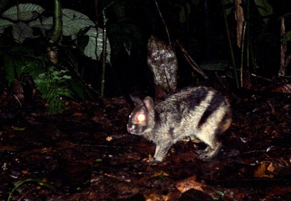 Almost nothing is known about the Sumatran striped rabbit, but it is likely threatened with extinction. Photo by: Jeremy Holden/Fauna and Flora International.
