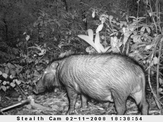 A forest hog in Sapo National Park, Liberia. © Ben Collen/ZSL/FFI/FDA.