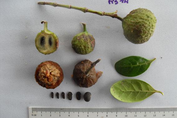 Echantillon d'un fruit mangé par des makis varis noir et blanc. Photo de Mialy Razanajatovo.