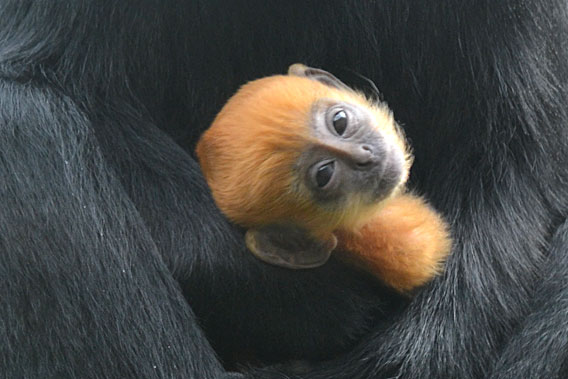 Baby Francois langur looking at the world at the London zoo. Photo courtesy of ZSL.
