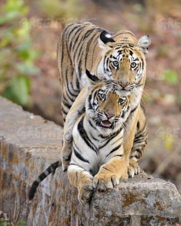 Bengal tigers in India's Tadoba region. India holds more tigers than any other country in the world. Photo courtesy of Greenpeace.