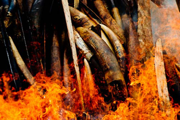 Gabon burns its ivory. © James Morgan / WWF.