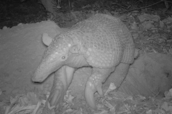 A giant armadillo in Brazil. Photo by: the Pantanal Giant Armadillo Project.