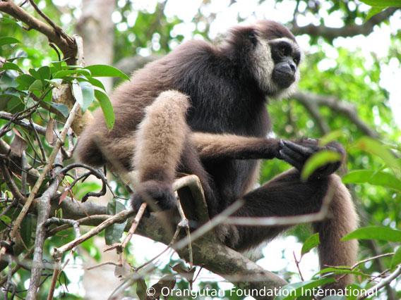 Gibbon, a frugivorous primate in Borneo. Photo courtesy of Orangutan Foundation International.