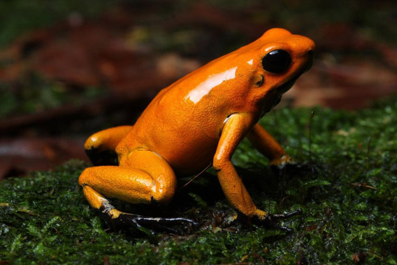 Golden poison frog. Photo by: © ProAves.