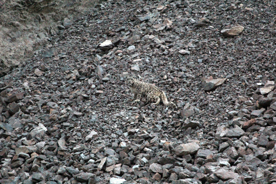 Find the snow leopard? The first collared snow leopard after it was fitted with a satellite collar. Photo by: John Goodrich/WCS.